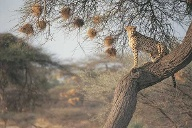 Safari in Botswana: Gepard. (Quelle: Thinkstock by Getty-Images)