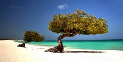 . Divi Divi Baum am Strand von Aruba (Quelle: Aruba Tourism Authority)
