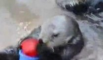 Seeotter stapelt Becher (Screenshot: ZoomIn)