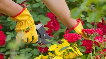 Gartenarbeit im Mai: Jetzt Rosen pflegen (Quelle: Thinkstock by Getty-Images)