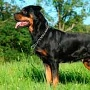 Den sechsten Platz belegt der Rottweiler (Quelle: Thinkstock by Getty-Images)