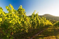 Wandern durch Weinberge in der Pfalz. (Quelle: Thinkstock by Getty-Images)