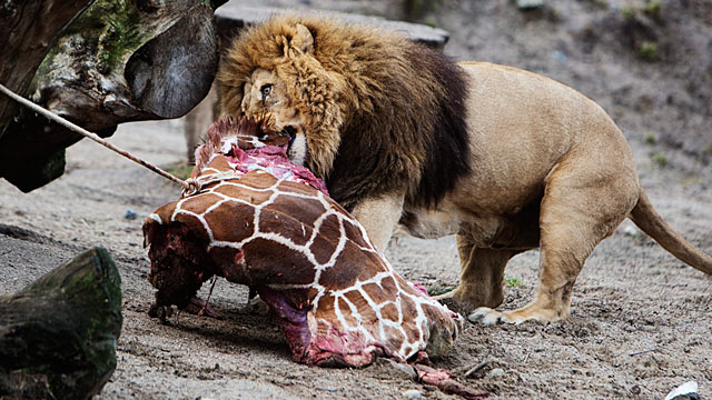 The lions were allowed to feast at the Zoo Giraffe, the slaughter of many people outraged (Source: AP)