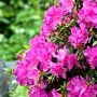 Beliebte Gartensträucher: Rhododendron (Quelle: Thinkstock by Getty-Images)