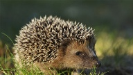Wildtiere: Igel (Quelle: Thinkstock by Getty-Images)