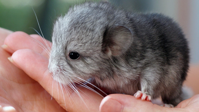 Chinchilla Pictures For Kids