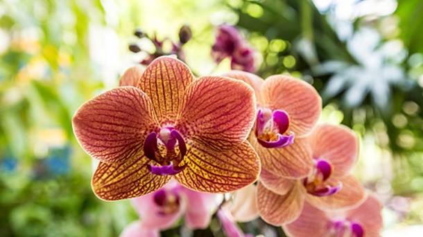 Phalaenopsis-Orchideen richtig pflegen. Bei der richtigen Pflege blühen Phalaenopsis-Orchideen das ganze Jahr. (Quelle: Thinkstock by Getty-Images)