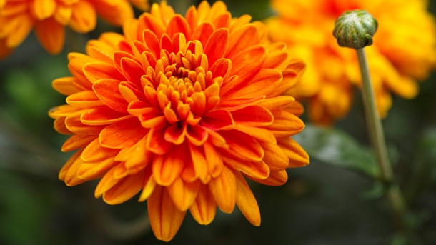 Chrysanthemen-Pflege: Tipps zum beliebten Vielblüher. Perfekt für den Herbst: Von September bis November bringen Chrysanthemen Farbe in Ihren Garten. (Quelle: Thinkstock by Getty-Images)