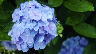 Hortensie  (Quelle: Thinkstock by Getty-Images)