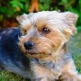Yorkshire Terrier  (Quelle: Thinkstock by Getty-Images)