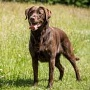 Labrador Retriever  (Quelle: Thinkstock by Getty-Images)