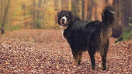 Berner Sennenhund  (Quelle: Thinkstock by Getty-Images)