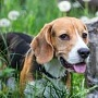 Beagle  (Quelle: Thinkstock by Getty-Images)