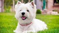 West Highland Terrier (Quelle: Thinkstock by Getty-Images)