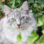 Norwegische Waldkatze  (Quelle: Thinkstock by Getty-Images)