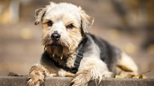 Norfolk-Terrier: Klein und voller Temperament
