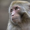 GUIYANG CHINA FEBRUARY 08 CHINA OUT A wild macaque is seen in a forest in Qianling Mountain on (Quelle: imago/China Foto Press)
