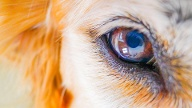 Auge eines Hundes (Quelle: Thinkstock by Getty-Images)