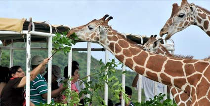 Philippinen: Calauit - Klein-Afrika in Südostasien. Falscher Ort: Giraffen-Safari auf den Philippinen (Quelle: AFP)