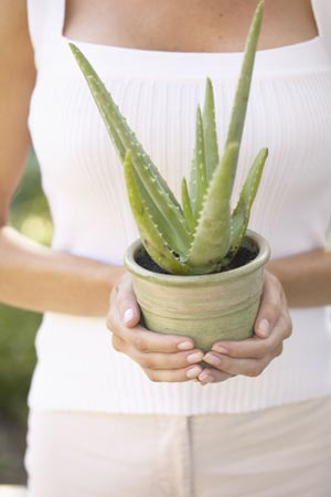 Aloe Vera reduziert das Formaldehyd in der Raumluft. (Quelle: Thinkstock by Getty-Images)