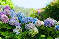 Pflanzen für den Herbst: Hortensie (Quelle: Thinkstock by Getty-Images)