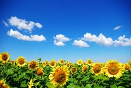 Sonnenblumen haben ihren Namen verdient (Quelle: Thinkstock by Getty-Images)