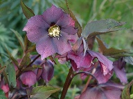 Helleborus (Quelle: GMH/Bettina Banse)