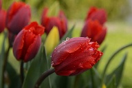 Rote Tulpen (Quelle: imago images/blickwinkel)