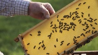 Lebensweise der Bienen (Quelle: Thinkstock by Getty-Images)