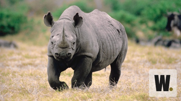 Safari-Thrill in Namibia. Kein seltener Gast: Nashorn in Namibia. (Quelle: Thinkstock by Getty-Images)