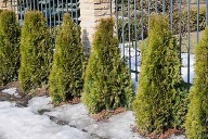 Thuja (Quelle: Thinkstock by Getty-Images)