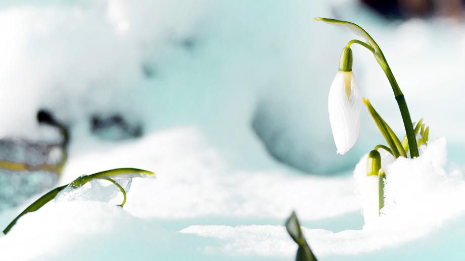 Winterharte Frühlingsboten (Quelle: Thinkstock by Getty-Images)