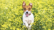 Jack Russell Terrier (Quelle: Thinkstock by Getty-Images)
