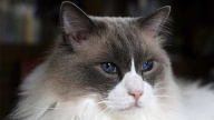 Die Ragdoll-Katze  (Quelle: Thinkstock by Getty-Images)