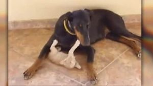 Dobermann schließt Katzen-Baby in sein Herz. (Screenshot: Bit Projects)