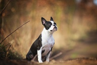 Boston Terrier (Quelle: Thinkstock by Getty-Images)