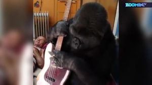Gorilla spielt Bass von 'Red Hot Chili Peppers'-Star. (Screenshot: Zoomin)