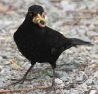Amsel (Quelle: Thinkstock by Getty-Images)