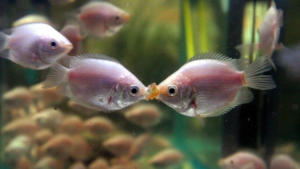 Küssender Gurami: Haltungstipps für den exotischen Fisch. Zwei Küssende Guramis küssen sich in einem Aquarium. (Quelle: picture-alliance/dpa/Imaginechina)