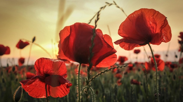 Blume des Jahres 2017: Der Klatschmohn – eine Symbolpflanze. Drei Mohnpflanzen auf einem Acker (Quelle: Thinkstock by Getty-Images/NotWithClaws)