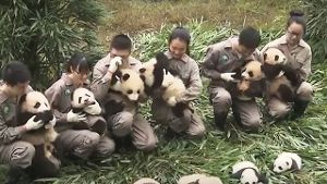 17 Pandas auf einmal in China. (Screenshot: Bitprojects)