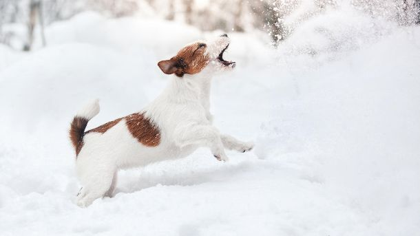 Genau wie Menschen können sich auch Hunde erkälten. Darum gibt es im Winter einiges zu beachten. (Quelle: Thinkstock by Getty-Images/Anna-av)