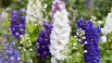 Larkspur flowers, Delphinium elatum (Quelle: Getty Images/AndreaAstes)