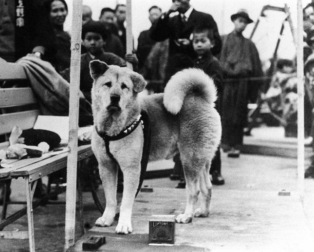 Japan: Ch?ken Hachik? (?????) 'Faithful dog Hachiko' at Shibuya Station c. 1932 (Quelle: ullstein bild)