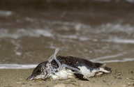 Der Müll führt für Meeresbewohner oft zum Tod: Ein kleiner Pinguin ist in einer Dosenhalterung aus Plastik verendet. (Quelle: ANT Photo Library / picture-alliance / Balance / Photoshot)
