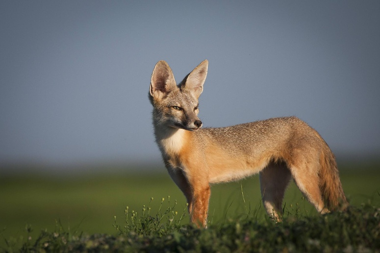 Kitfuchs: (Quelle: imago images/Nature Picture Library)