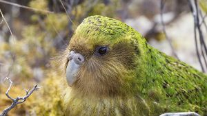 Sinbad the male Kakapo Strigops habroptilus portrait Codfish Island Stewart Island New Zealand