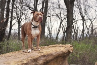 American Pitbull Terrier (Quelle: Getty Images/Kymberlee Andersen)