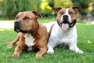 American Staffordshire Terrier (Quelle: imago images/Panthermedia)