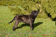 Cane Corso (Quelle: imago images/Anka Agency International)